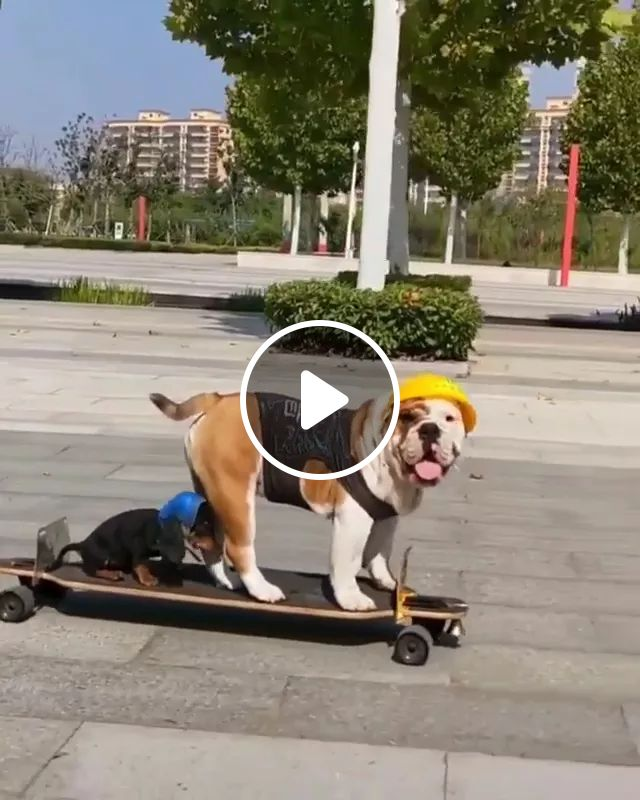 Talented dog capable of skateboarding, talent, dog, adorable, capable, skateboarding