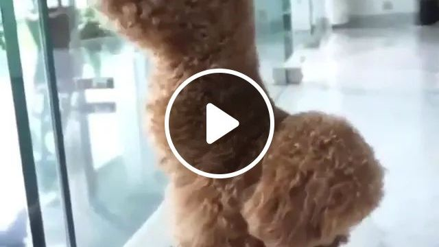 Talented Dog Stands With His Front Legs - Video & GIFs   dog, talented, standing, feet, adorable, glass doors, fashion clothing stores