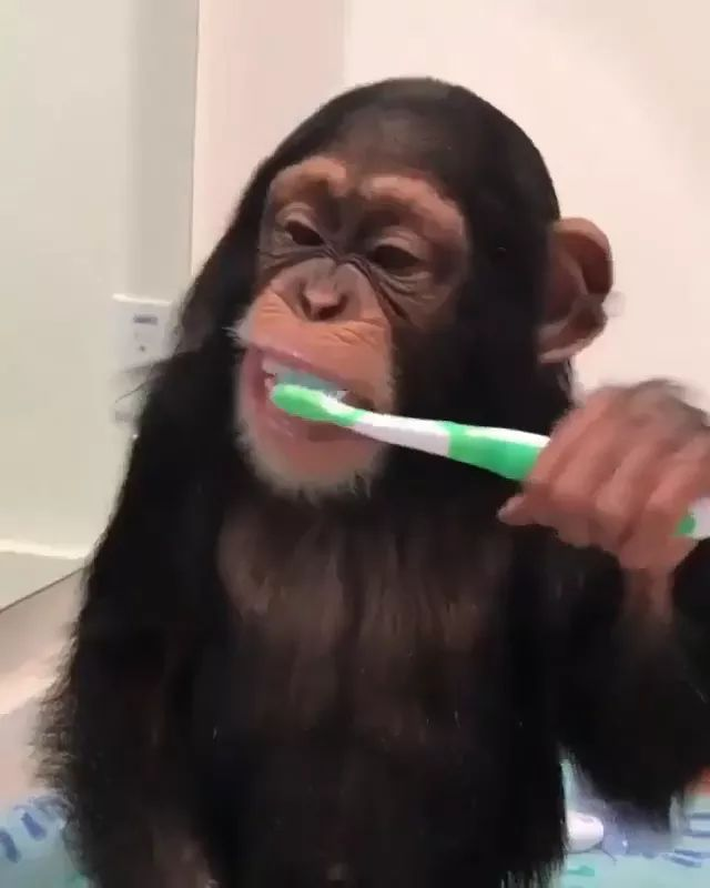 monkey cleans his teeth with a brush, clean teeth and protects his health