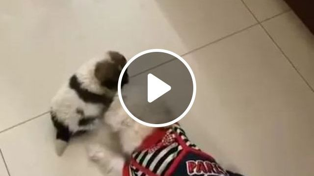 Dogs Are Playing Together In Living Room - Video & GIFs   animals, pets, dogs, living rooms, apartments
