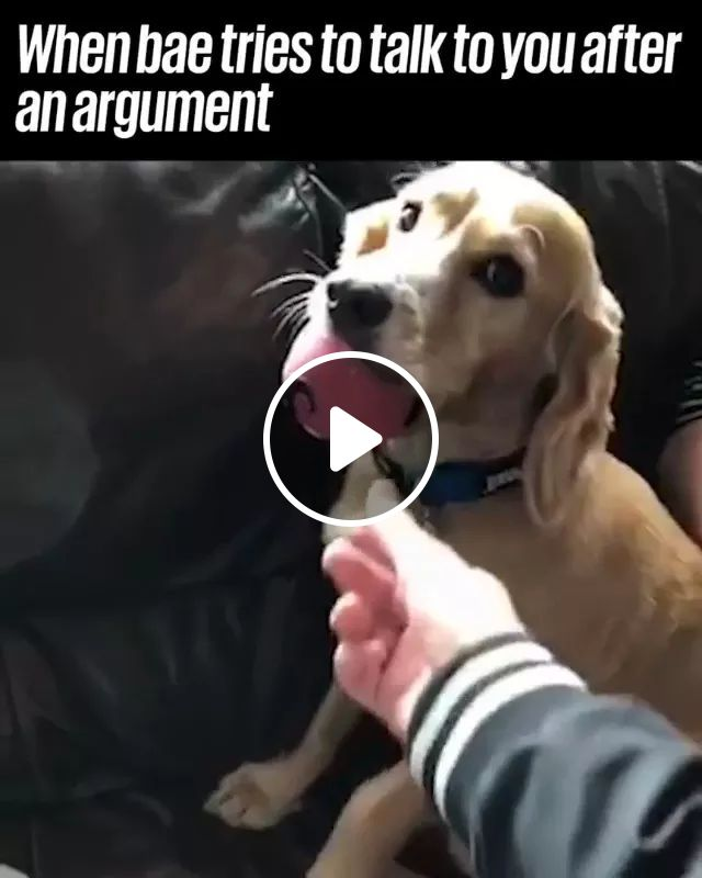 Dog Sitting On The Sofa Doesn't Want A Man To Take Ball - Video & GIFs   dog, sitting, on the sofa, adorable, ball