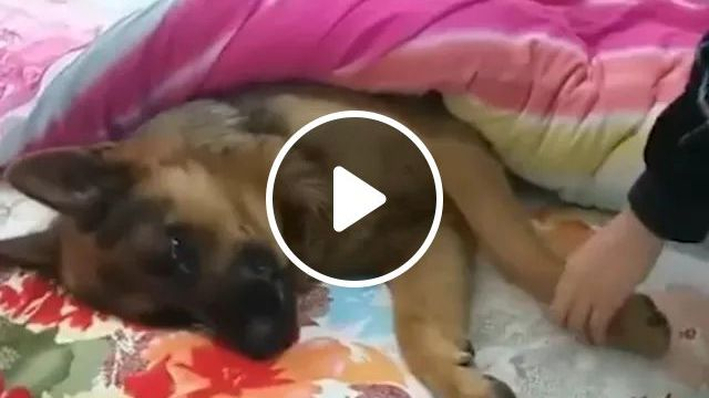 Dog Lies On The Mattress And Does Not Want To Wake Up - Video & GIFs | dog, adorable, lying, on the mattress, waking up, bedroom