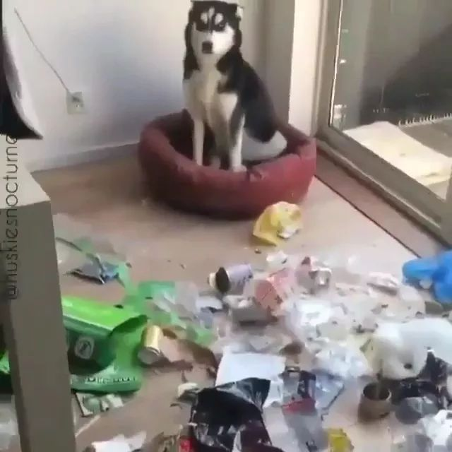 dog makes a mess in living room
