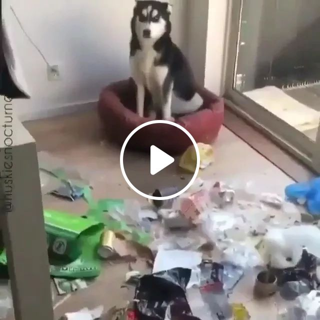 Dog Makes A Mess In Living Room - Video & GIFs   dog, messy, living room, dog mattress, household appliances,