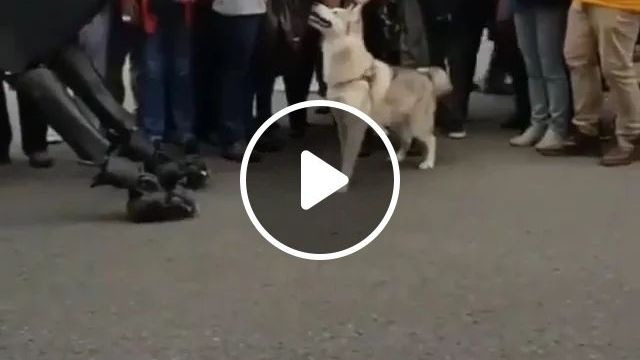 At Festival, Tourists Are Taking Photos Of Dog And Robot Dog With Smartphones - Video & GIFs | festival, tourist, being, photography, dog, dog robot, smartphone, luxury car, technology, luxury vehicle, Europe travel