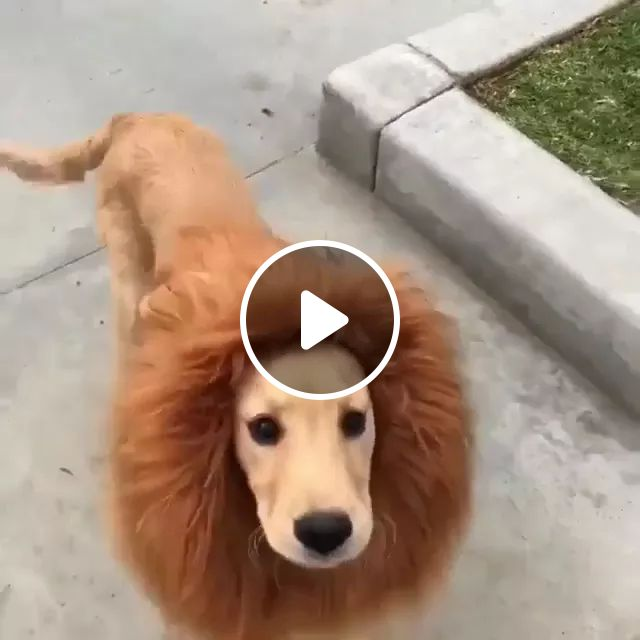 Dog Trimming Hair Looks Like A Lion - Video & GIFs | dog, trim hair, look, breed, lion, adorable