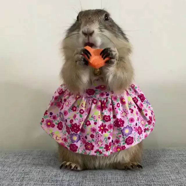 Squirrels eat carrots that look very lovely