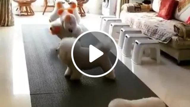 In Living Room Dogs Play Together - Video & GIFs | living rooms, carpets, sofas, chairs, glass doors, dogs, adorable, play, together