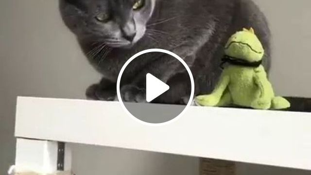 Black Cat Does Not Want Stuffed Animals On Wooden Shelve - Video & GIFs | Black cats, cat breeds, Stuffed animals, funny animals, wooden shelves