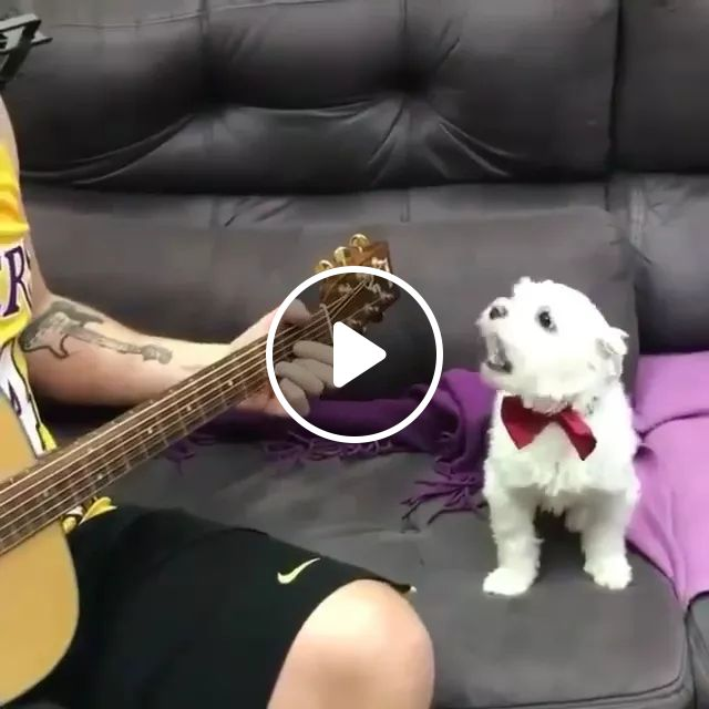 On The Sofa, A Man Plays Guitar And Dog Sings - Video & GIFs   sofa, men, playing, guitar, dog, adorable, singing, performing, talent, dog collar