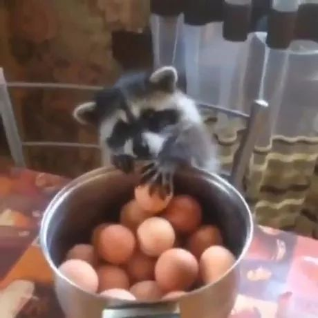 Raccoon sits on a chair trying to take eggs from pot on the dining table - Video & GIFs | raccoon, adorable, sitting, chair, trying to grab, egg, pot, dining table
