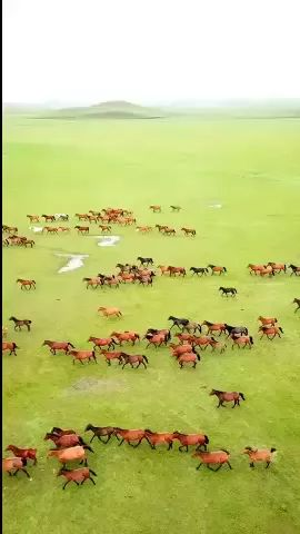 Horses running on the steppe feel very free
