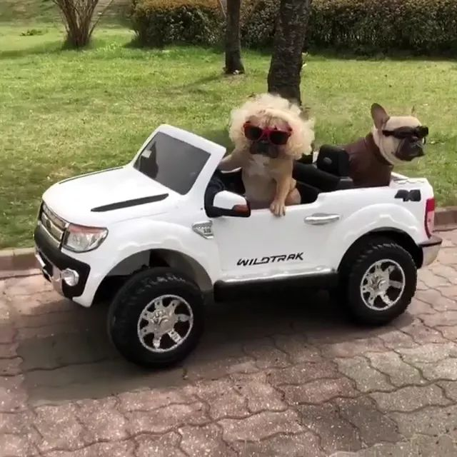 on the street, dogs wearing sunglasses and sitting on trucks look very lovely.