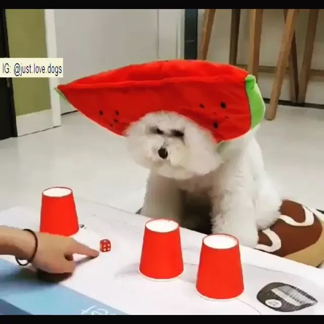 Smart dog find dice in plastic cups - Video & GIFs | smart dogs, funny animals, plastic cups, wooden tables, pet training, pet care, dog food,dice