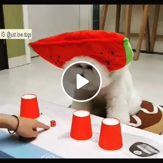 Smart Dog Find Dice In Plastic Cups - Video & GIFs | smart dogs, funny animals, plastic cups, wooden tables, pet training, pet care, dog food, dice