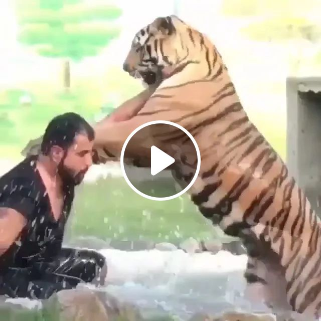 A Man And Tiger Play Together - Video & GIFs | man, tiger, play, together, friendly