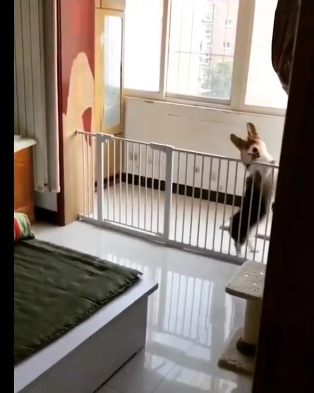 Lovely dog dancing to music in bedroom - Video & GIFs | dog talents, dog breeds, funny animals, pets, bedroom furniture