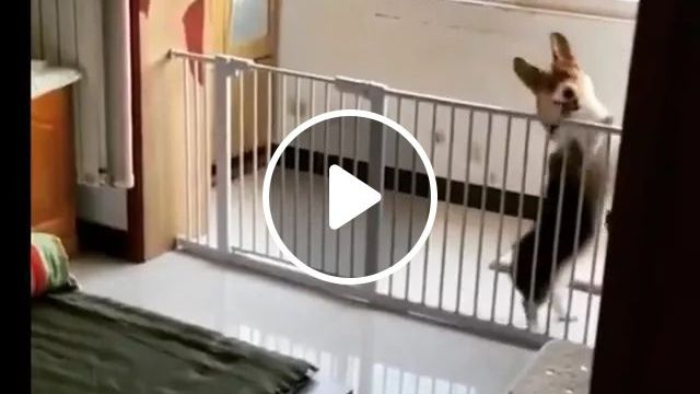 Lovely Dog Dancing To Music In Bedroom - Video & GIFs   dog talents, dog breeds, funny animals, pets, bedroom furniture