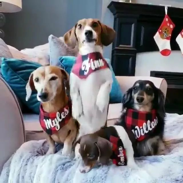 Christmas season, dogs wear pet clothes and stay in warm beds