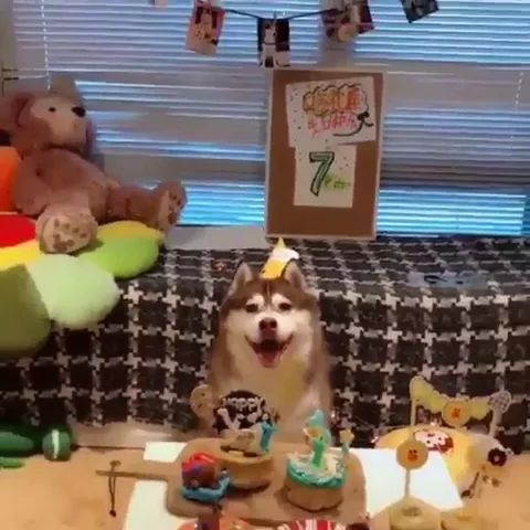 dog was very happy to be given many birthday presents and birthday cakes