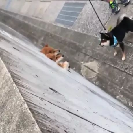 Maybe puppy is trying to help three dogs escape wall - Video & GIFs | perhaps, puppy, trying, helping, three dogs, escaping, off the wall, dog leash, pet, animal