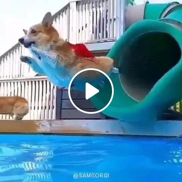 In Tour, Dogs Are Happy With Pool In Resort - Video & GIFs | American travel, dogs, fun, swimming pools, resorts
