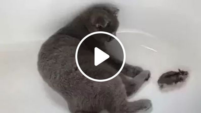 Cat And Mouse In Luxury Washbasin - Video & GIFs   cat, mouse, luxury washbasin, adorable, animal, pet