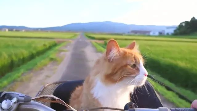 cat is traveling to village by bike