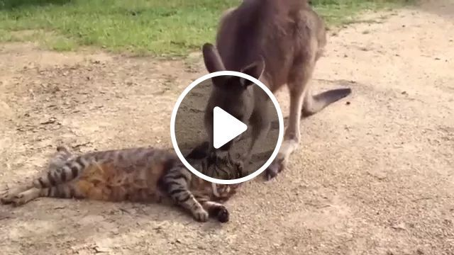 Tigers And Kangaroos Are Friendly In Zoo - Video & GIFs | tiger, kanguru, animals, friendly, in the zoo