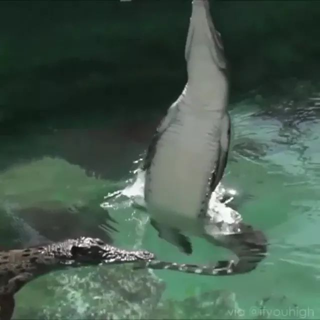 crocodile jumped high out of water