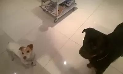 Smart dogs fit into kitchen
