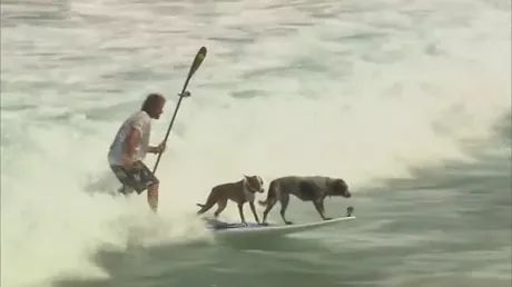 on the beach, two dogs and a man are surfing together