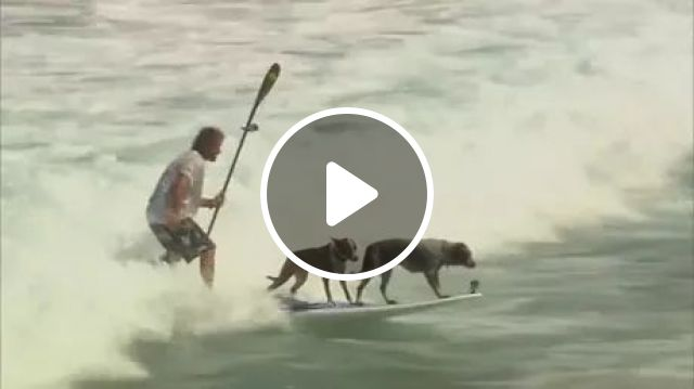 on the beach, two dogs and a man are surfing together, surfing, sea travel, talented dogs, intelligent animals, Australia travel