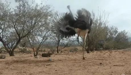 Emu Ostrich Freaking Out Over a Cat Toy - Video & GIFs   africa travel,funny animals,toys for cats
