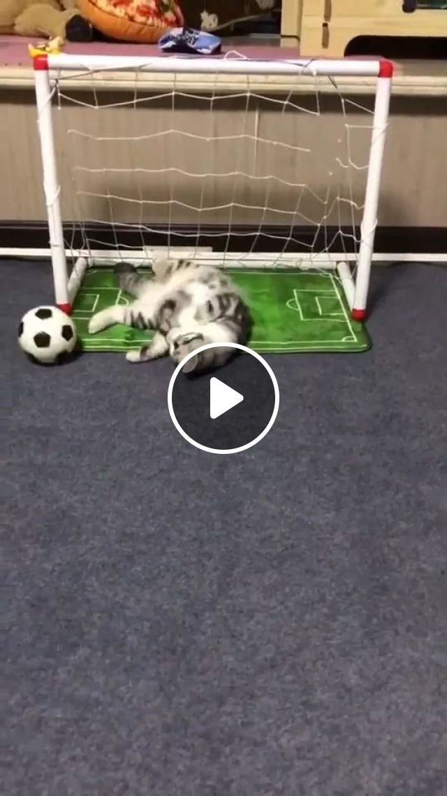 Cat Loves Football - Video & GIFs | animals, pets, cats, cat breeds, pet care, love football, luxury apartments