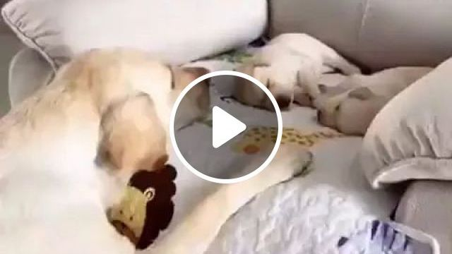 Mother Dog Taking Care Of Children In Sofa - Video & GIFs   smart dogs, dog breeds, plush sofas, friendly animals