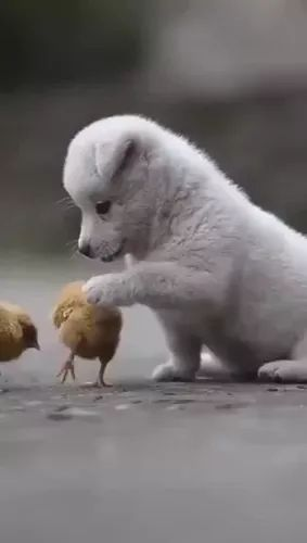 Puppy plays with chicks in yard