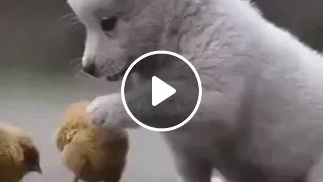 Puppy Plays With Chicks In Yard - Video & GIFs   cute puppies, animals, animal care