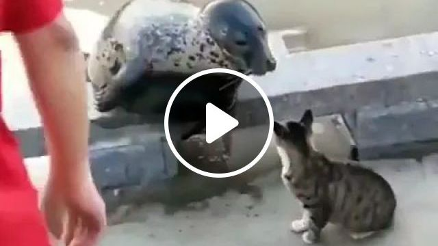 Seal Just Wants To Play With Cat - Video & GIFs   friendly seals, smart cats, japan travel