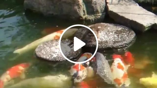 Duckling Takes Care Of Ornamental Fish - Video & GIFs   friendly ducklings, ornamental fish, fish food