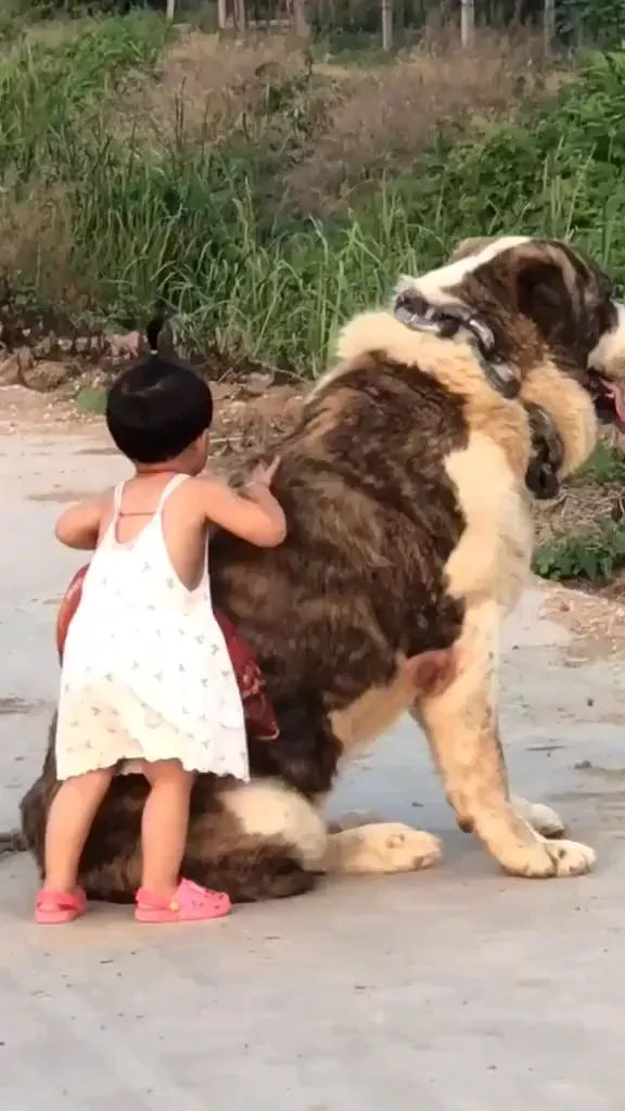 Giant dog playing with baby