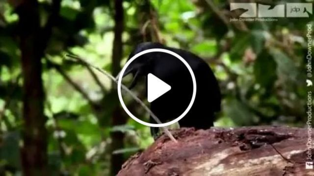 Intelligent crow modifies a stick to fish larva out of a stump tree in forest, intelligent crow, intelligent animals, animal food
