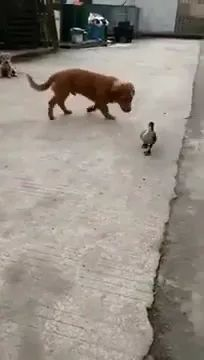 duckling just wants to play with puppy in yard - Video & GIFs | friendly ducklings,cute puppies,friendly animals,pets