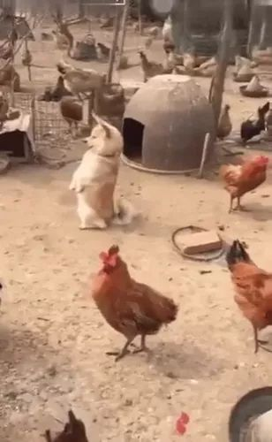 on the farm, dog can stand on two feet like chickens