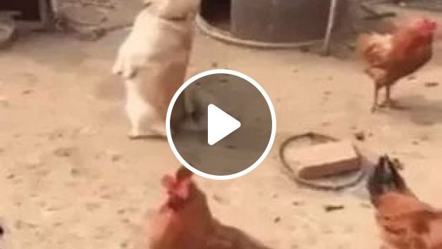 On The Farm, Dog Can Stand On Two Feet Like Chickens - Video & GIFs | chicken farm, smart dog, export chicken, funny animals