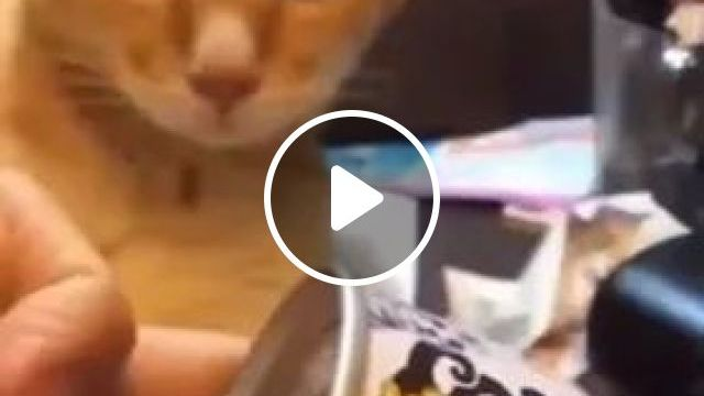 Cat Likes Fast Food And Canned Food - Video & GIFs   yellow cat, cute animals, fast food, canned food