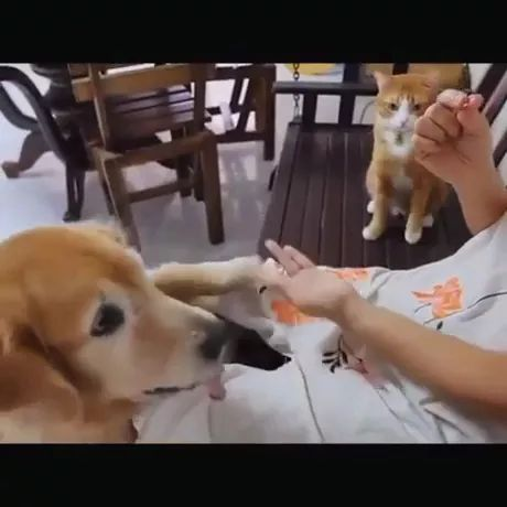 Smart cat practises his moves while waiting his turn - Video & GIFs | golden retriever,cute kittens,pomeranian,shiba inu puppy,take care of pets