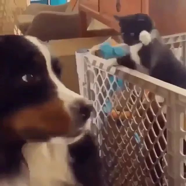 kitten wants to play with dog