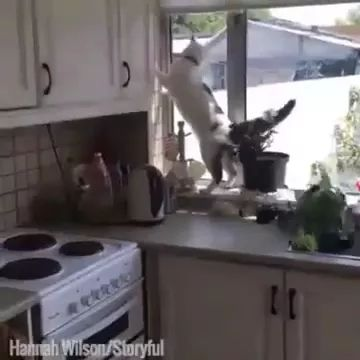 What happens when cats are in kitchen