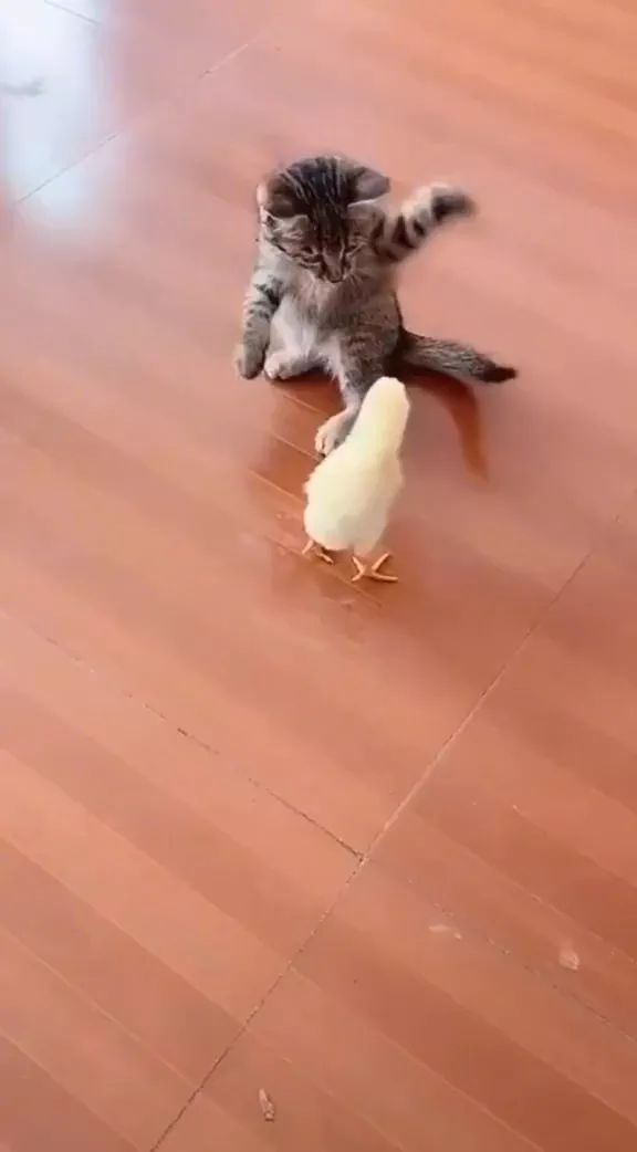 Kitten playing with chicks on a wooden floor